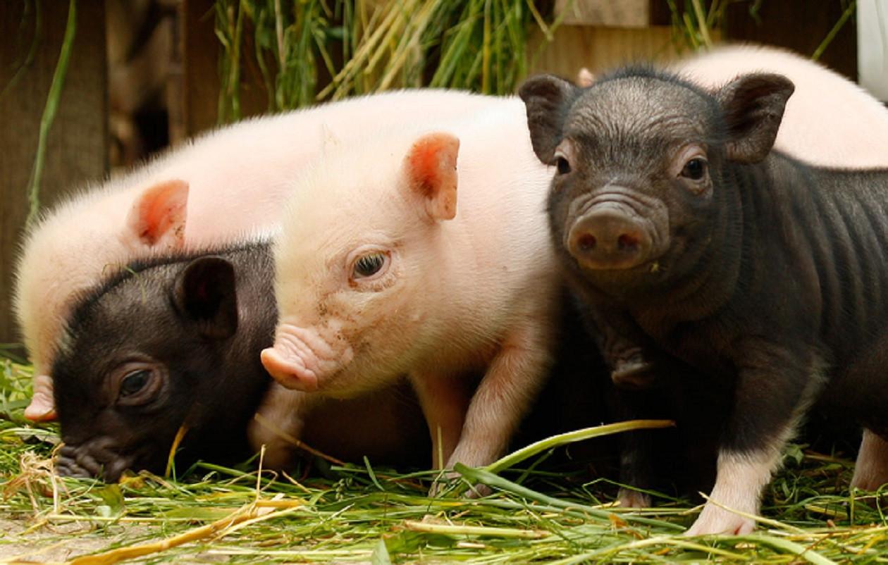 Minischweine begeistern vor allem die Kinder im Streichelgeheege.