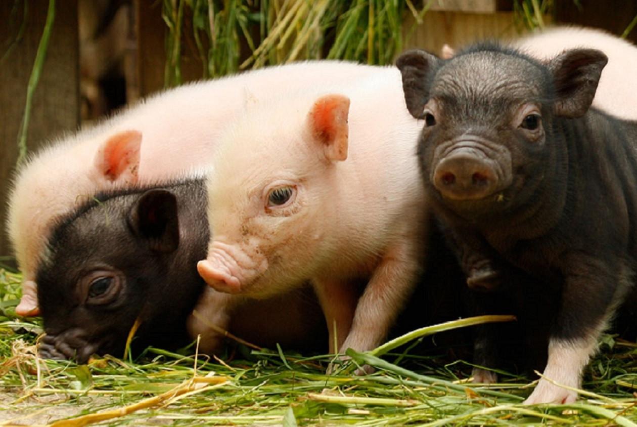 Schweinerei im Tier- und Kulturpark Bischofswerda.