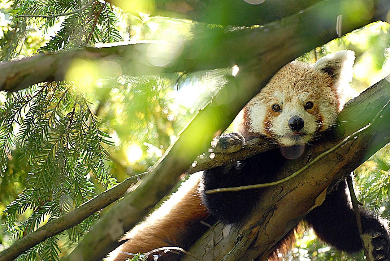 Pandas sind ein Aushängeschild des Görlitzer Tierparks.