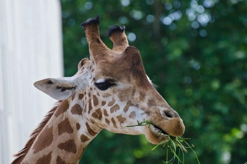Giraffe frisst Grünzeug