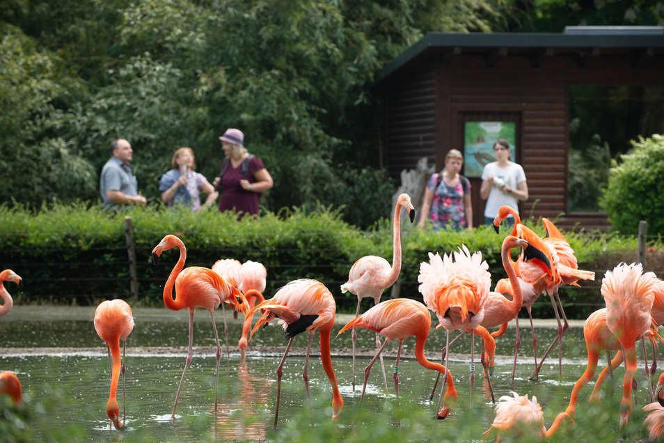Sind im Lockdown umgezogen - die Flamingos in Dresden.