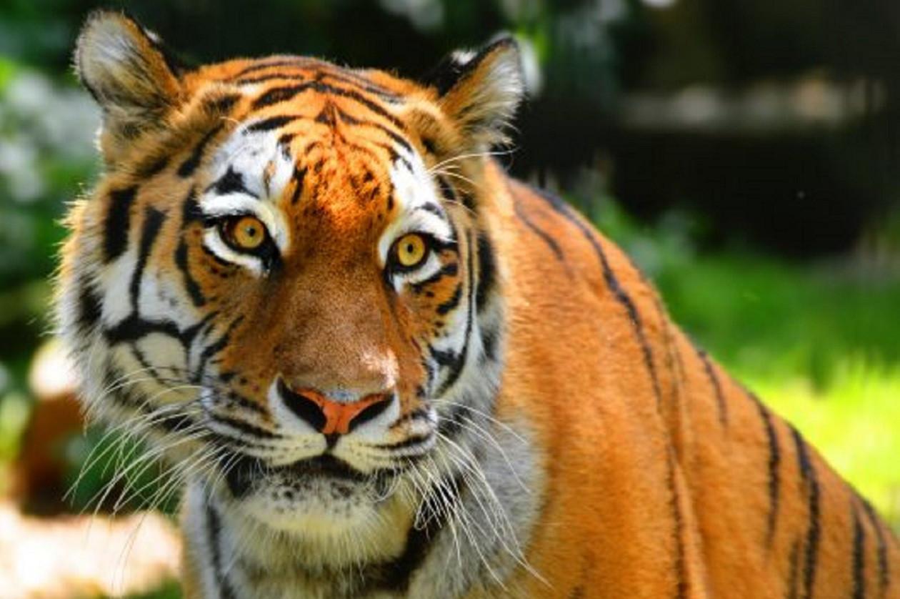 Geselliger Geselle - Tiger im Zoo Hoyerswerda.